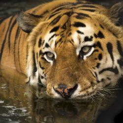 Conoce todo acerca del Tigre del Horóscopo Chino