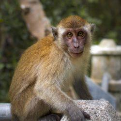 Horóscopo Chino - conoce todo acerca del signo del Mono