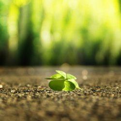 El trébol de 4 hojas – amuleto de buena suerte